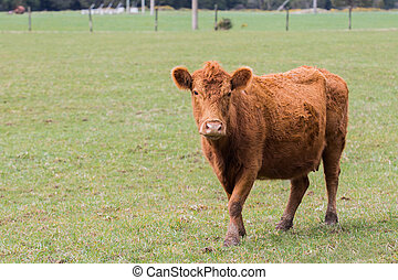 new zealand livestock cow standing in animals farm field...