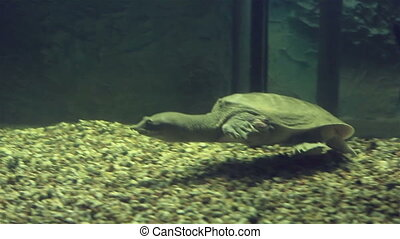 Chinese softshell turtle - Chinese softshell turtle....