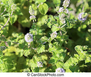 Green Mint leaves with flowers