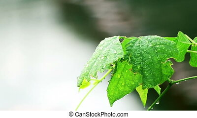 Wet Leaf of a Bush After Rain