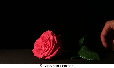 Fresh pink rose and dry. Withering beauty and onset of old...
