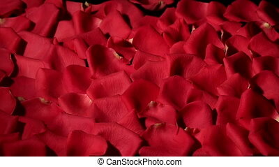Wind blows red rose petals from black background.