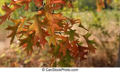 Fall Color Oak leaves Swaying 1080p - Fall Color Oak leaves...