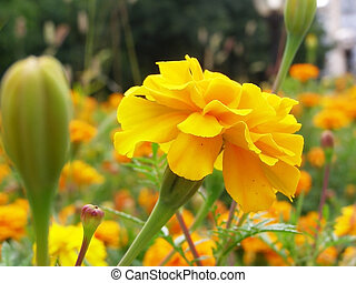 orange tagetes, flower