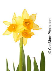 narcissus - Bouquet of yellow narcissus isolated on white