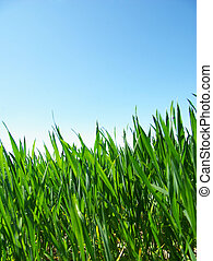 lawn  - Beautiful green lawn isolated on sky