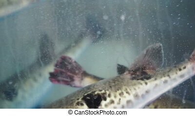 alive swimming porcupine fish - fresh, alive swimming...