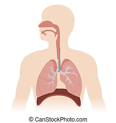 respiratory system - human respiratory system anatomy vector...