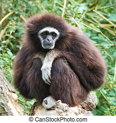 Lar gibbon (Hylobates lar) - Lar gibbon resing in its...
