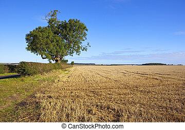pszenica, drzewo, jesion, stary, pole