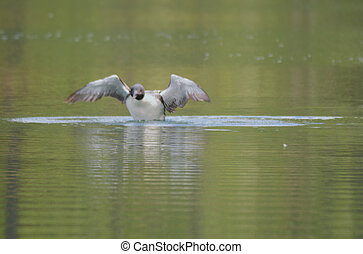 Animated Loon On Lake Surface - Common loon raising up from...