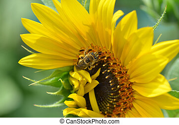 Honeybee on large sunflower