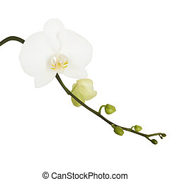 flower - White flower of Orchid Vector illustration Isolated...