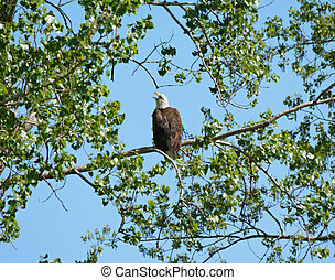Perching Adult Bald Eagle - Bright vista on an adult bald...
