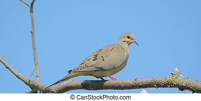 A Mourning Dove Cameo - Bright,attractive cameo of a...