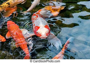 Koi Carp Fish - Koi Carp fish in pond