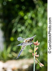 The four-spotted chaser (Libellula quadrimaculata) - A...