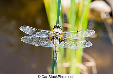 The four-spotted chaser Libellula quadrimaculata - A...