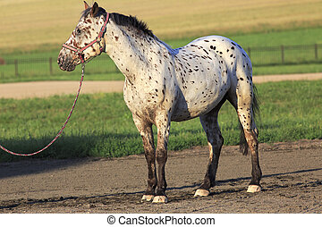 Altai native breed horse piebald or pied suit - Altai native...