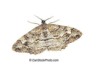 Male mottled beauty moth - Male mottled beauty geometridae...