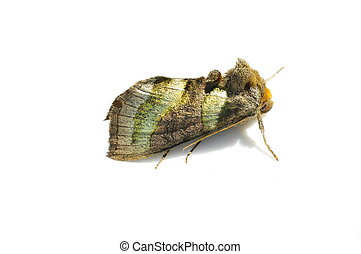 Burnished Brass moth - The Burnished Brass moth Diachrysia...