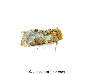 Cryptic Burnished Brass moth Diachrysia stenochrysis...