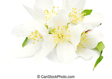 Philadelphus coronarius bush - Branch of a mock orange...