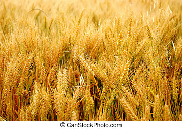 grain field in summer