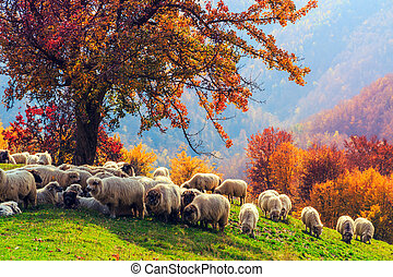 Sheep under the tree in Transylvania - Sheep under the tree...