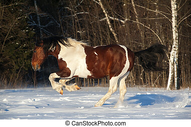 pinto horse - Playful pinto draft horse running in snowy...