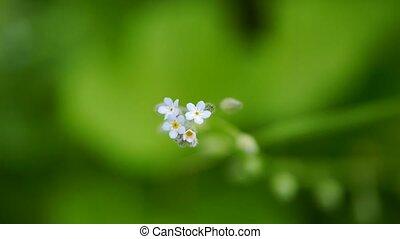 Anemone white flower, macro