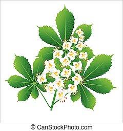 Horse chestnut flower isolated object