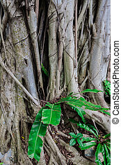 The roots of the banyan tree against green leaves