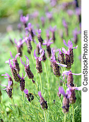 French Lavender (Lavandula stoechas) - group of French...
