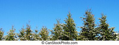 abete, albero, fondo.,