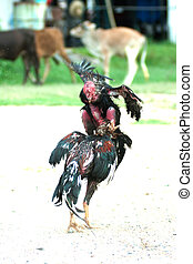 Cockfight in Thailand - Fighting cocks in a vicious attack...