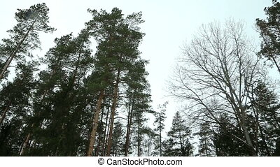 Pine Forest - Tracking shot of the pine forest on a windy...