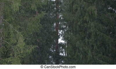 Snowflakes in the Pine Forest - Snowflakes are falling in...