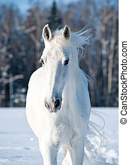 white horse - Portrait of snowy white horse in wintertime