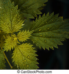 Nettle leaves close-up - For lovers of style close-up...