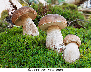 ceps - fungus isolated on a green carpet