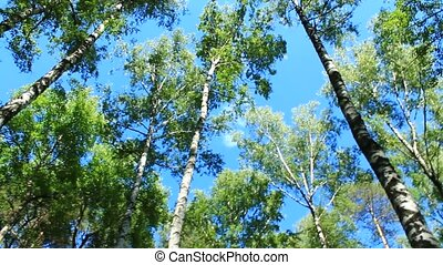 crowns of trees and blue sky - view up to crowns of the...
