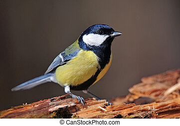 Great tit - Photo of great tit standing on a wood
