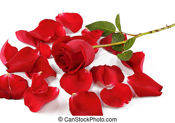 Red rose and petals - A stalk of red rose surrounded by rose...