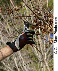 Fall Tree Pruning - A man's gloved hand using pruning shears...