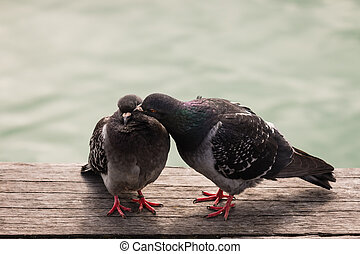 courting feral pigeons - closeup of courting feral pigeons
