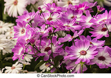 pink and white osteospermum flowers - close up of pink and...