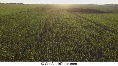 Aero Flight over the corn field in sunset