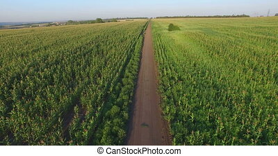 Aero Flight over the corn field