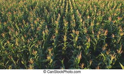 Aero Flight over the corn field in sunset